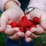 manos-fresas